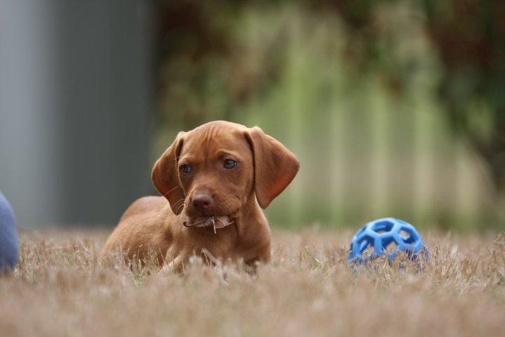 Vizsla Puppies | Tradi...